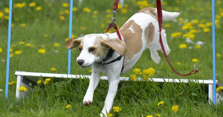 10 Most Stubborn Dog Breeds First Time Owners Should Know